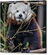 Mohu The Teenage Red Panda Acrylic Print