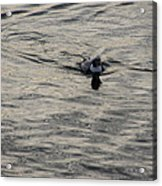 Moire Silk Water And A Long Tailed Duck Acrylic Print