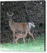Mom And Baby Deer Acrylic Print