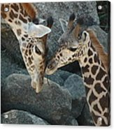 Mom And Baby Giraffe Acrylic Print