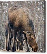 Mom And Young Moose Acrylic Print