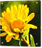 Moment In The Sun - Golden Flower - Northern California Acrylic Print