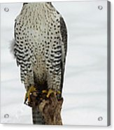 Moments Of Stillness Gyrfalcon In The Snow Acrylic Print by Inspired Nature Photography Fine Art Photography