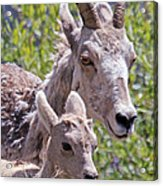 Momma And Baby Ram Acrylic Print