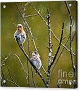 Momma Bluebird And Baby Acrylic Print