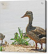 Momma Duck And Baby With A Different View Acrylic Print