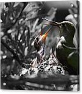 Momma Hummingbird Feeding Babies Acrylic Print by Old Pueblo Photography