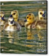 Momma's Little Gooslings Acrylic Print