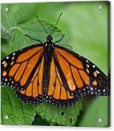 Monarch 3 Acrylic Print