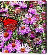 Monarch Among The Asters Acrylic Print
