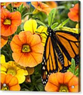 Monarch Among The Flowers Acrylic Print