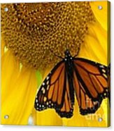 Monarch And Sunflower Acrylic Print