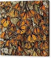 Monarch Butterflies Wintering Acrylic Print