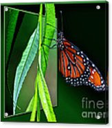 Monarch Butterfly 04 Acrylic Print