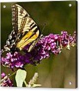 Monarch Butterfly 3 Acrylic Print