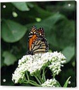 Monarch Butterfly 45 Acrylic Print