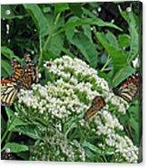 Monarch Butterfly 47 Acrylic Print