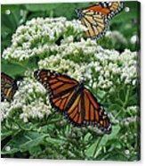 Monarch Butterfly 54 Acrylic Print