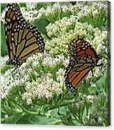 Monarch Butterfly 57 Acrylic Print