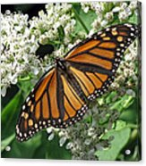 Monarch Butterfly 62 Acrylic Print