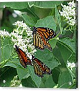 Monarch Butterfly 63 Acrylic Print