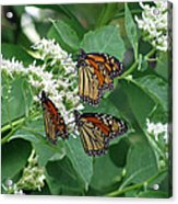 Monarch Butterfly 64 Acrylic Print