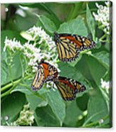 Monarch Butterfly 65 Acrylic Print