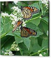 Monarch Butterfly 66 Acrylic Print