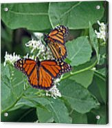 Monarch Butterfly 68 Acrylic Print