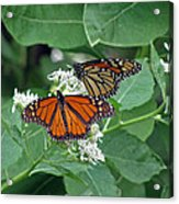Monarch Butterfly 69 Acrylic Print