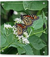 Monarch Butterfly 70 Acrylic Print