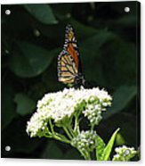 Monarch Butterfly 71 Acrylic Print