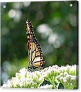 Monarch Butterfly 72 Acrylic Print