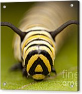 Monarch Butterfly Caterpillar I Acrylic Print