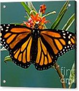 Monarch Butterfly Danaus Plexippus Acrylic Print
