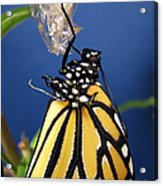 Monarch Butterfly Emerging From Chrysalis Acrylic Print