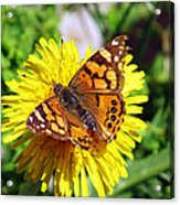 Monarch Butterfly Feeding On A Yellow Dandelion Flower Acrylic Print