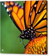 Monarch Butterfly Headshot Acrylic Print