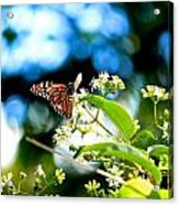 Monarch Butterfly I Acrylic Print