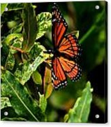 Viceroy Butterfly II Acrylic Print