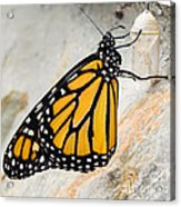 Monarch Butterfly Just Emerged From Her Chrysalis Acrylic Print
