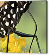 Monarch Butterfly Male Feeding Acrylic Print
