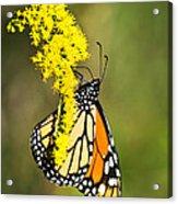 Monarch Butterfly On Goldenrod Acrylic Print