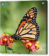 Monarch Butterfly On Lantana Flowers Acrylic Print