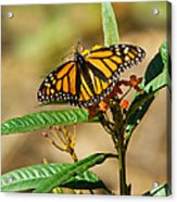 Monarch Butterfly On Plant With Eggs Acrylic Print