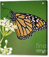 Monarch Butterfly On White Milkweed Flower Acrylic Print