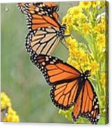 Monarch Gathering Acrylic Print by Laurence Van Oliver