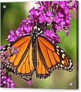 Monarch Hangs On To Buddleia Acrylic Print