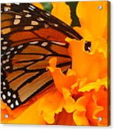 Monarch In The Marigold Acrylic Print