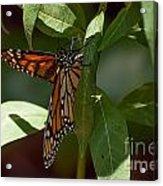 Monarch In The Shade Acrylic Print